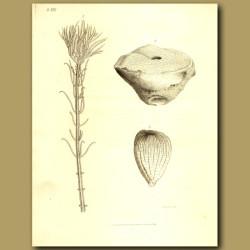 Fossil Sea Crinoids: Pentacrinus