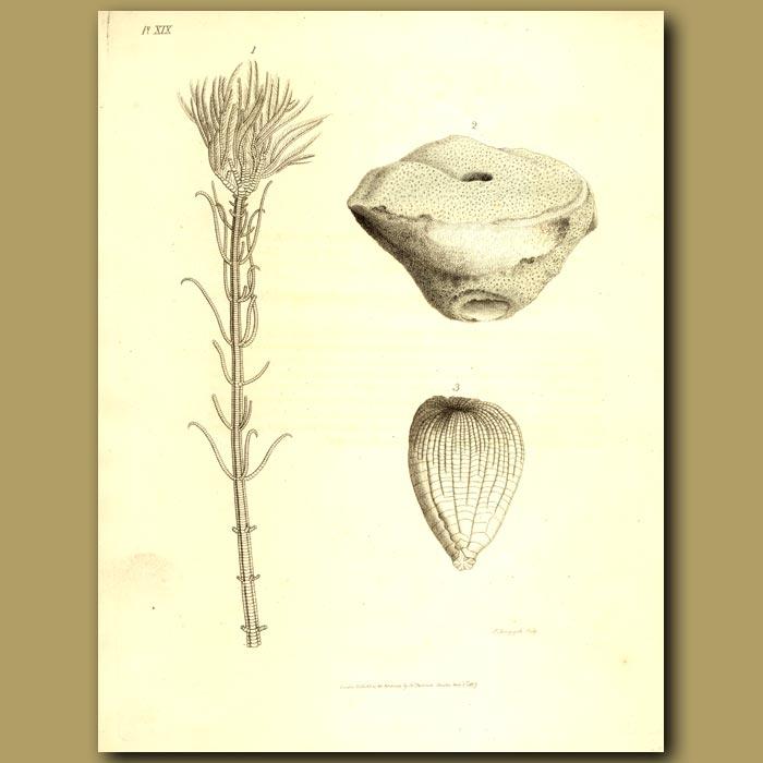 Antique print. Fossil Sea Crinoids: Pentacrinus