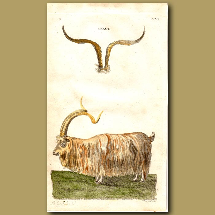 Antique print. Goat