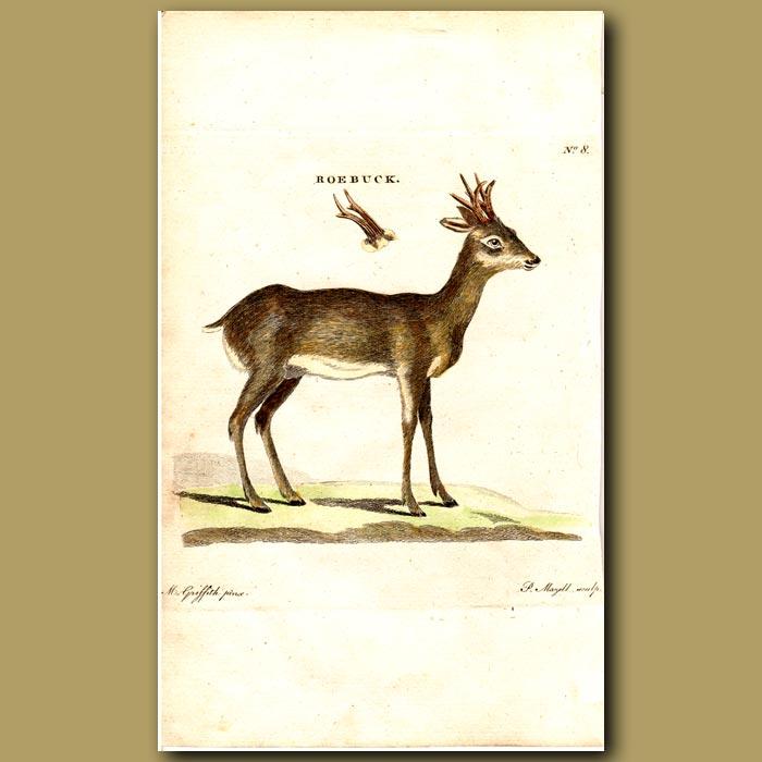Antique print. Roebuck