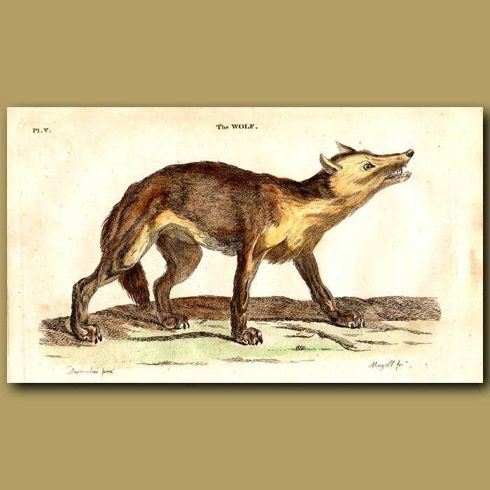 Antique print. Wolf
