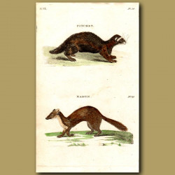Polecat (Fitchet) and Martin