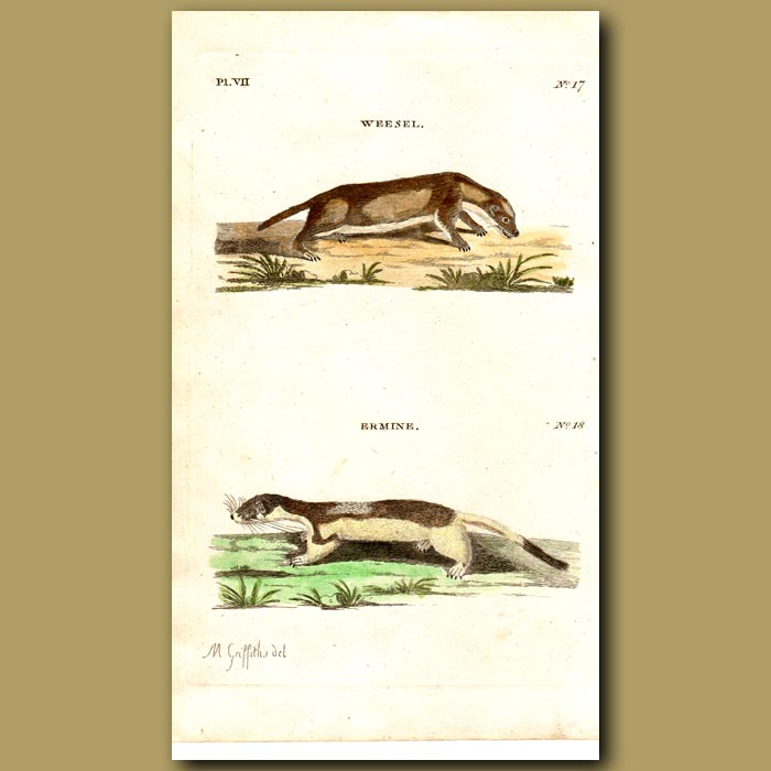 Antique print. Weasel and Ermine