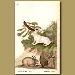 Alpine Hare and Rabbit