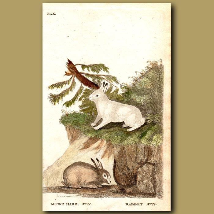 Antique print. Alpine Hare and Rabbit