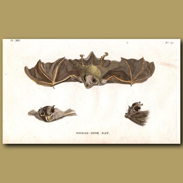 Antique print. Horse-shoe Bat