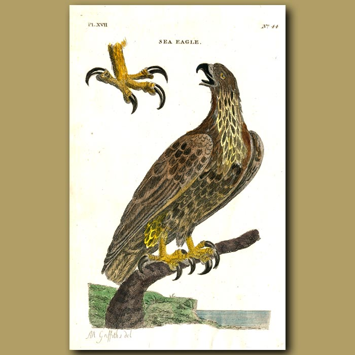 Antique print. Sea Eagle