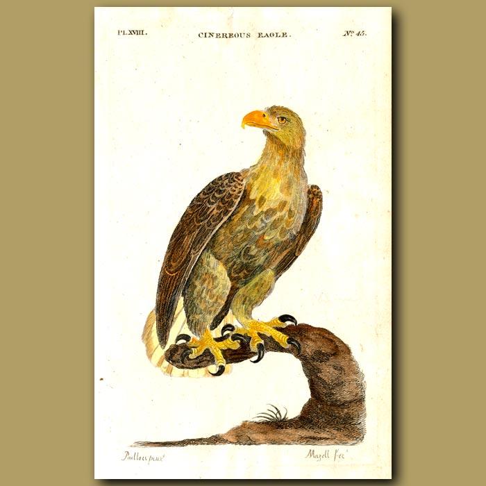 Antique print. White-tailed Sea Eagle