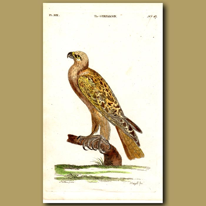 Antique print. Gyr Falcon