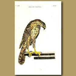 Gentle Falcon