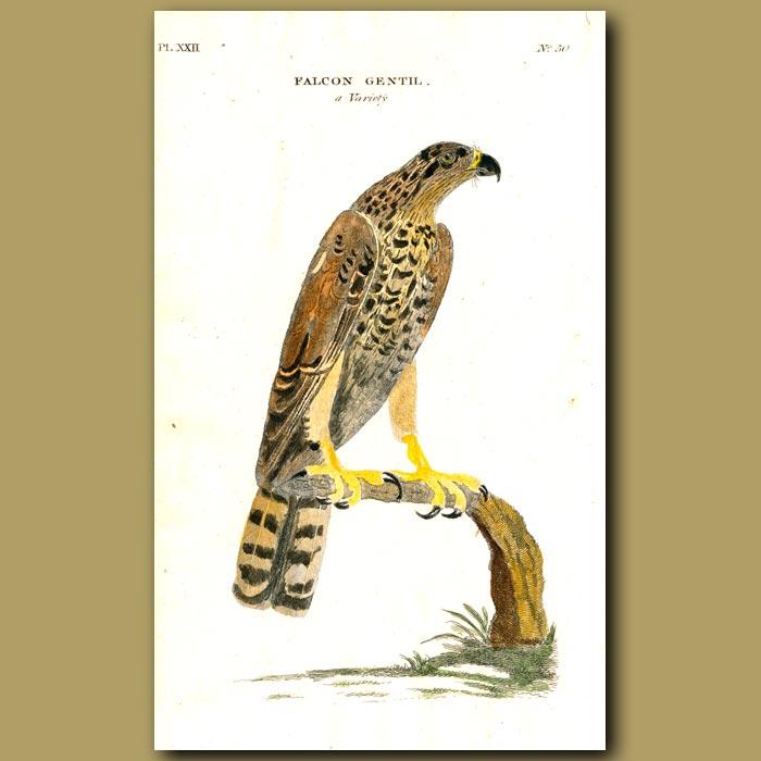 Antique print. Gentle Falcon
