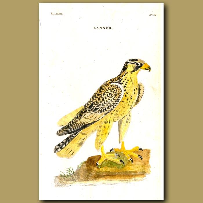 Antique print. Lanner Falcon