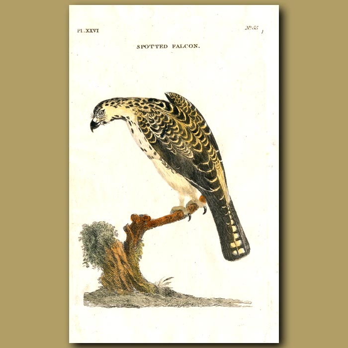 Antique print. Spotted Falcon
