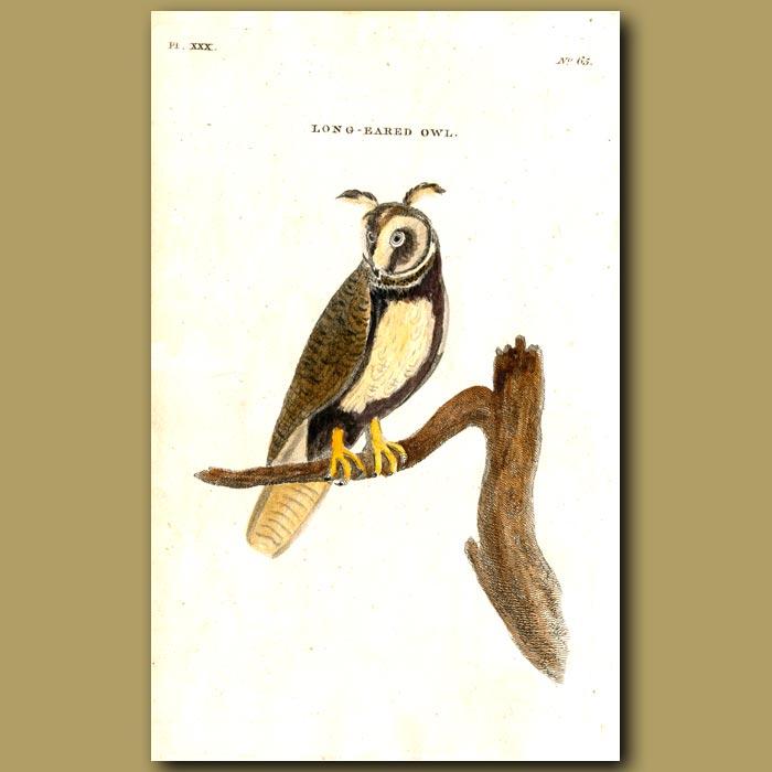Antique print. Long-eared Owl