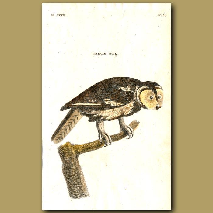 Antique print. Brown Owl