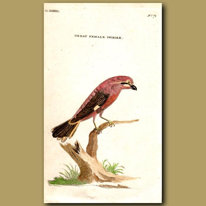Antique print. Great Female Shrike