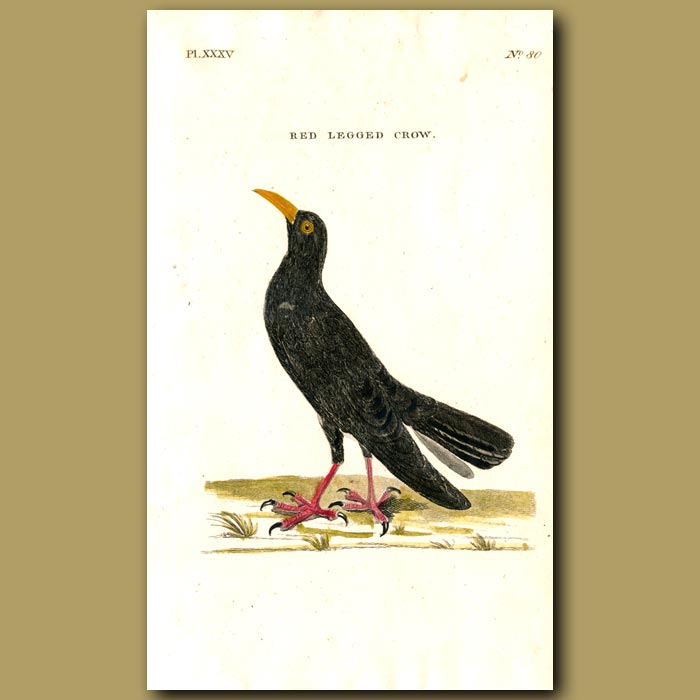 Antique print. Red Legged Crow