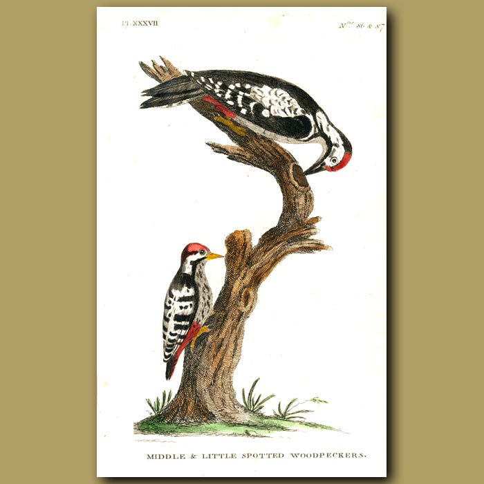 Antique print. Middle and Little Spotted Woodpeckers