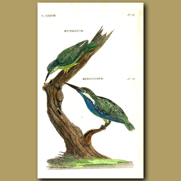 Antique print. Nuthatch and Kingfisher
