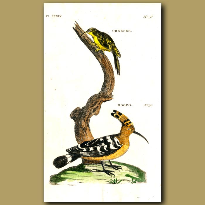 Antique print. Creeper and Hoopoe