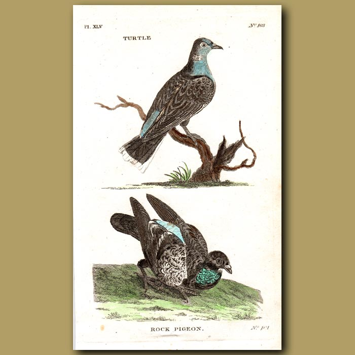 Antique print. Turtle Dove and Rock Pigeon