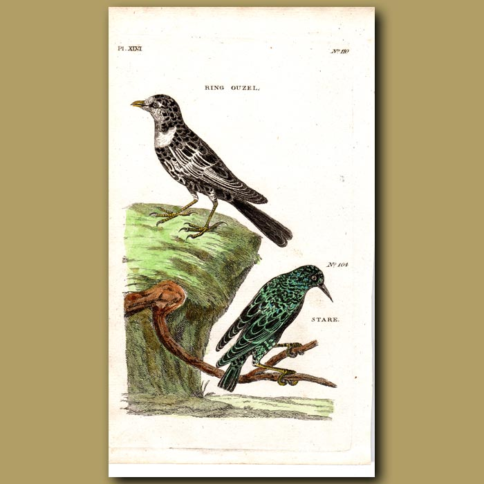 Antique print. Ring Ouzel and Starling