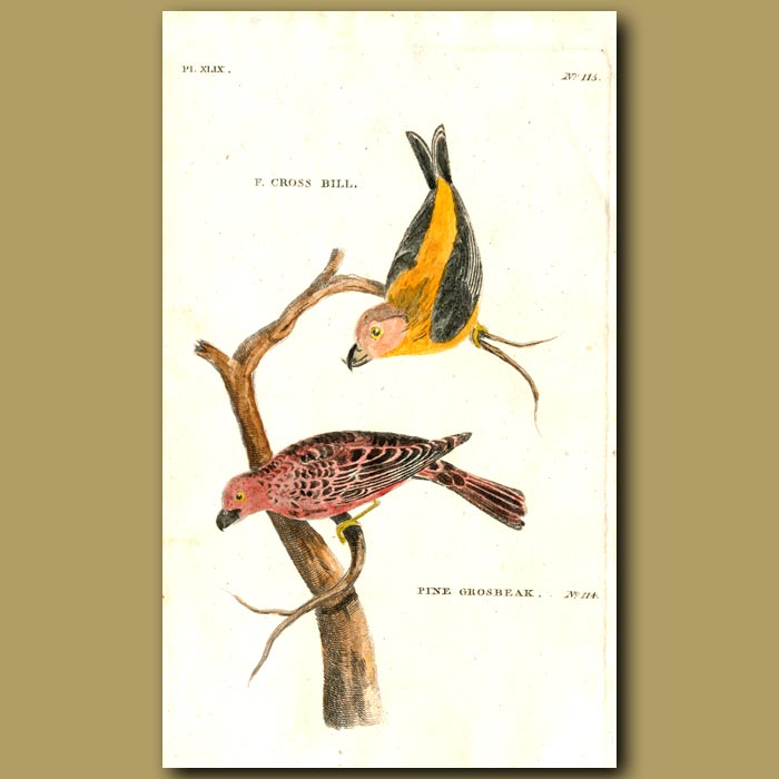 Antique print. Crossbill and Fine Grosbeak