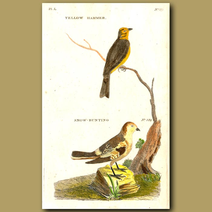 Antique print. Yellow Hammer and Snow Bunting