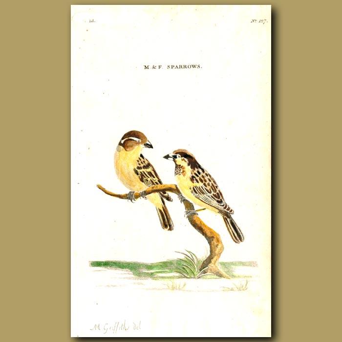 Antique print. Sparrows