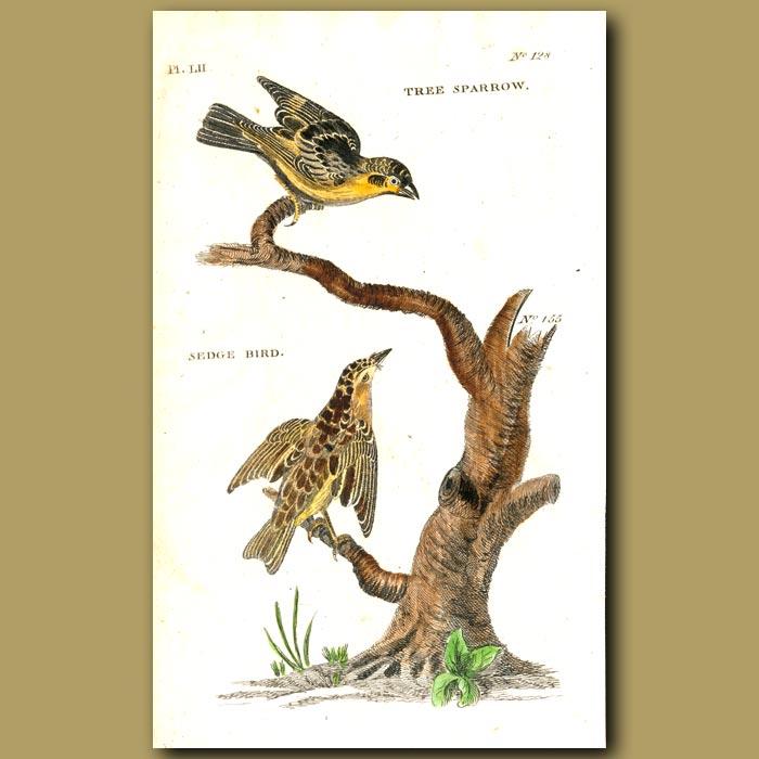 Antique print. Tree Sparrow and Sedge Bird
