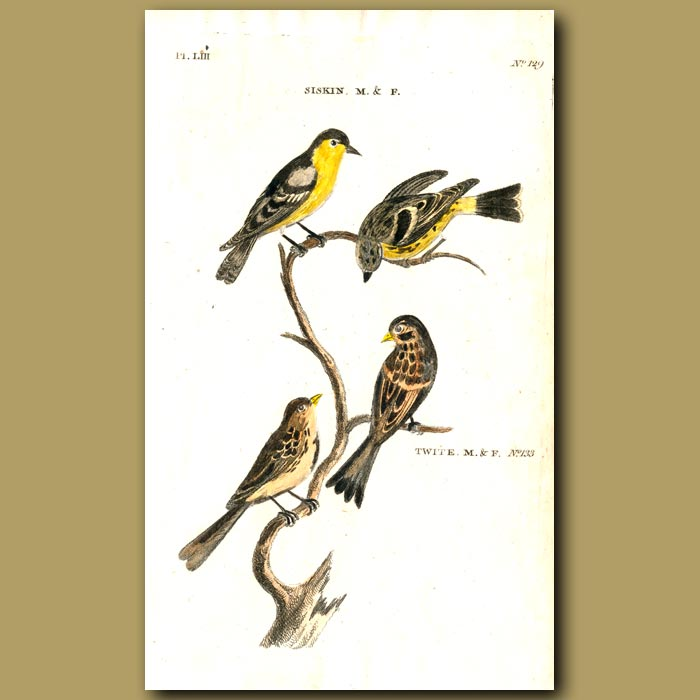 Antique print. Siskin and Twite