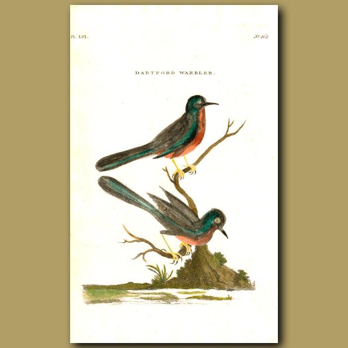 Antique print. Dartford Warbler