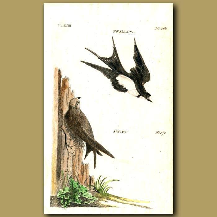 Antique print. Swallow and Swift