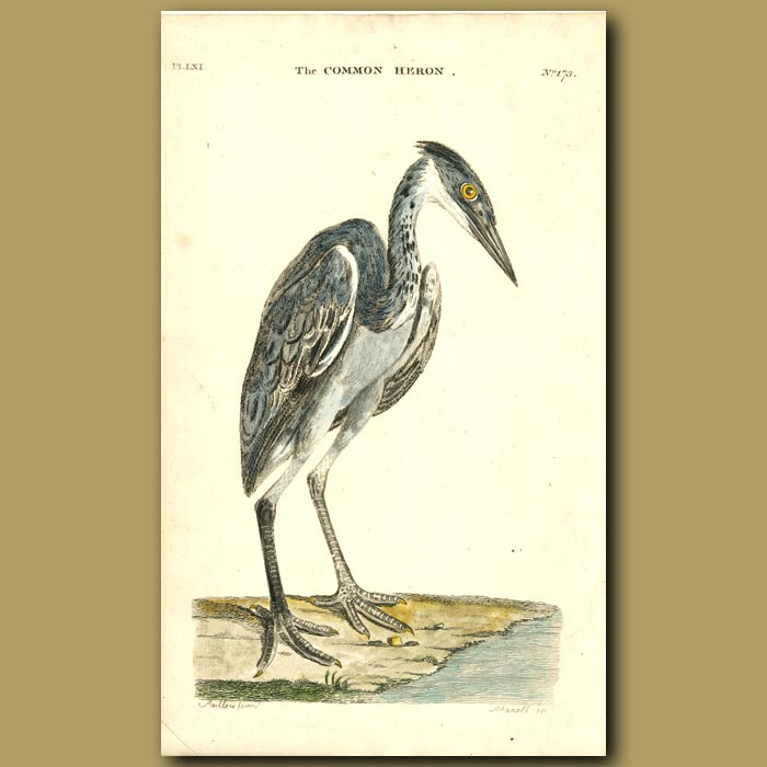 Antique print. Common Heron