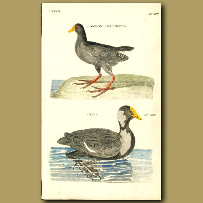 Antique print. Common Gallinule and Coot