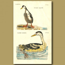 Dusky Grebe And Tippet Grebe