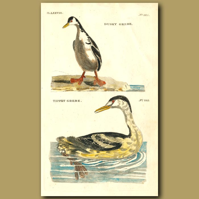 Antique print. Dusky Grebe and Tippet Grebe