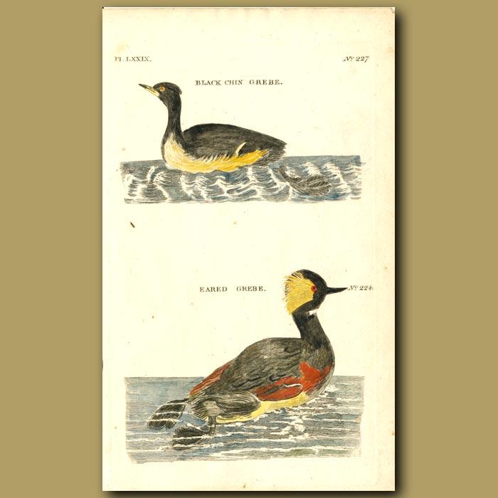 Antique print. Black Chine Grebe and Eared Grebe