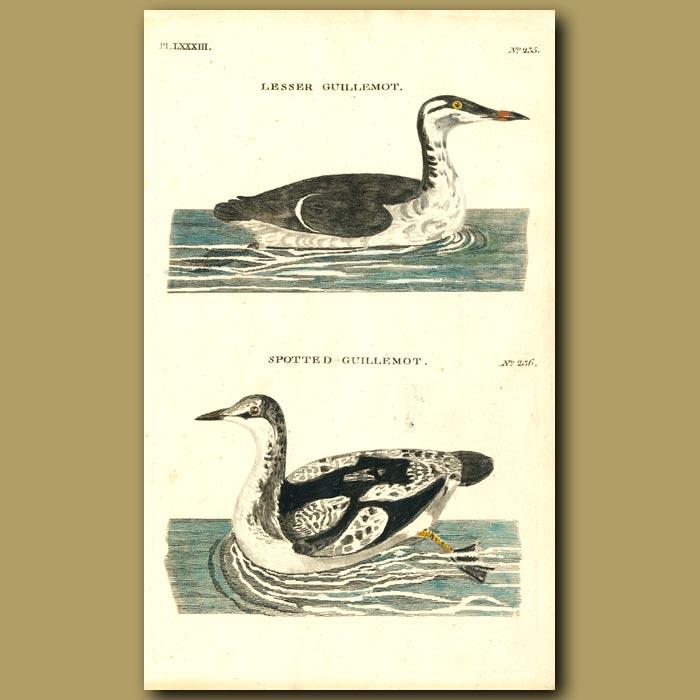 Antique print. Lesser Guillemot and Spotted Guillemot