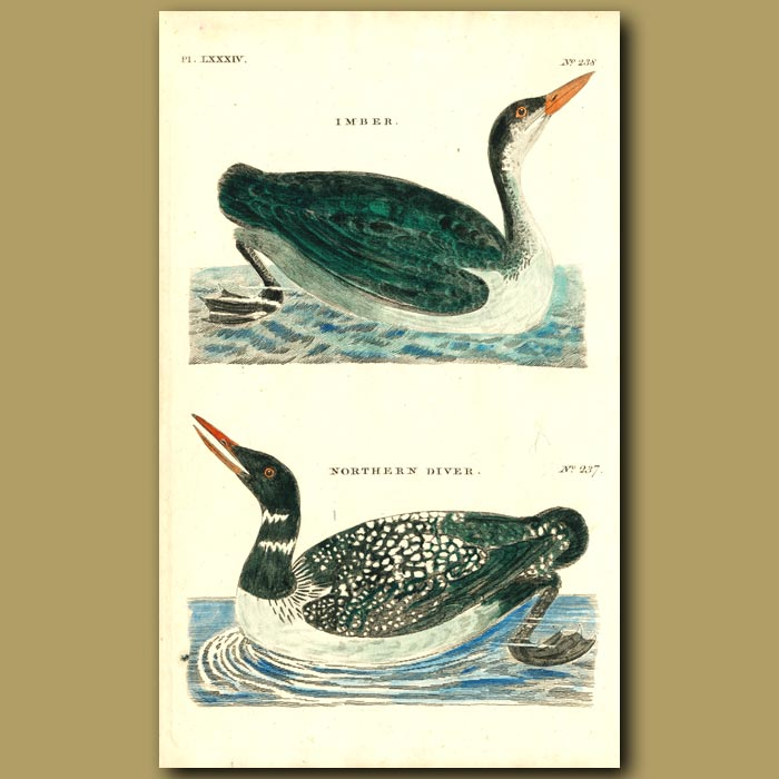 Antique print. Imber and Northern Diver