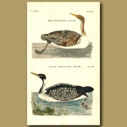 Red-Throated Diver And Black-Throated Diver