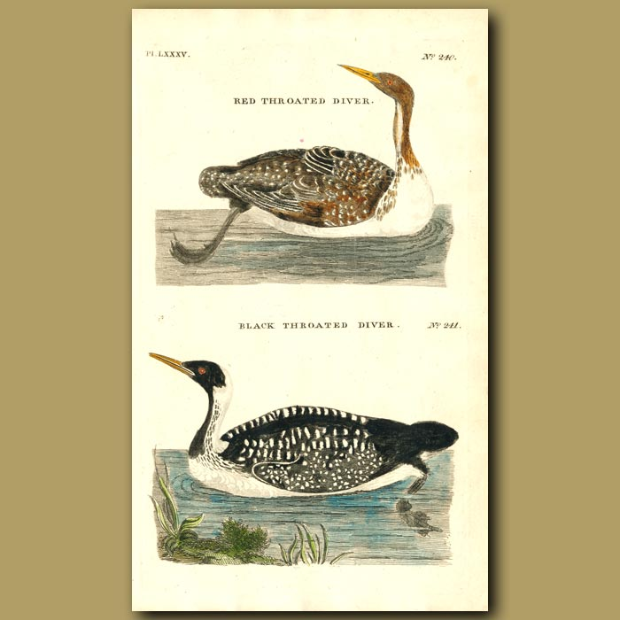 Antique print. Red-throated Diver and Black-throated Diver