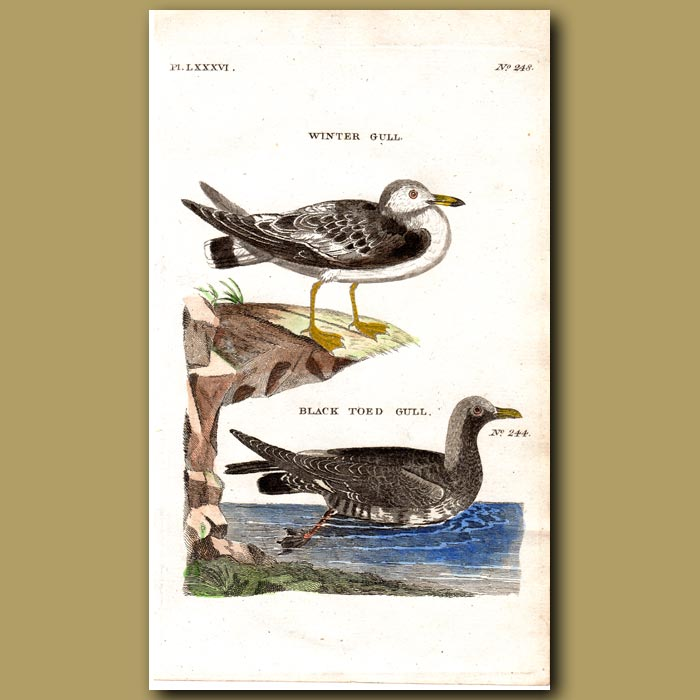 Antique print. Winter Gull and Black-toed Gull