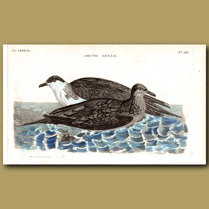 Antique print. Arctic Gulls