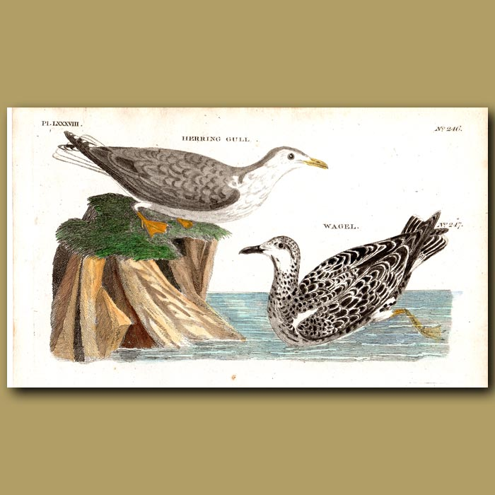 Antique print. Herring Gull and Wagel