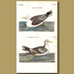 Kittiwake And Common Gull