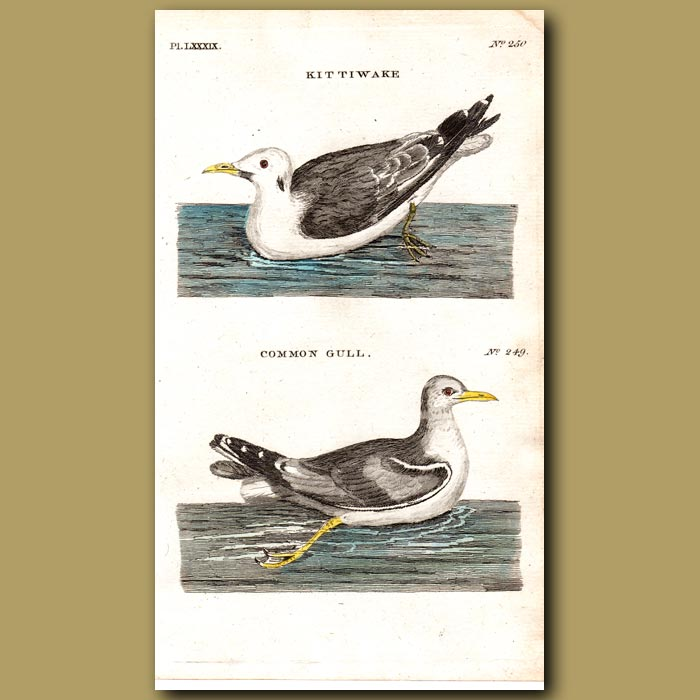 Antique print. Kittiwake and Common Gull