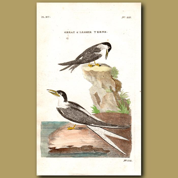 Antique print. Great and Lesser Terns