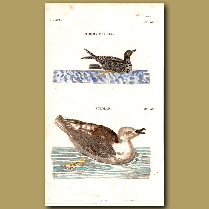 Antique print. Stormy Petrel and Fulmar