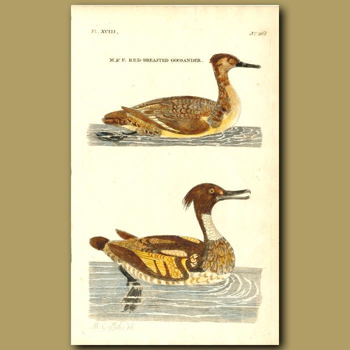 Antique print. Red-breasted Goosander